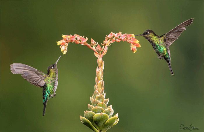 Photo of two hummingbirds by a flower