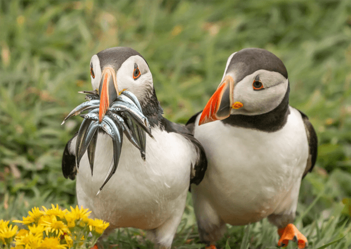 Funny photo of two puffins from the Comedy Wildlife Photography Awards