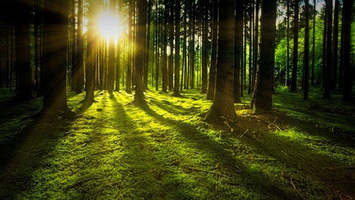阳光穿过森林里的树木