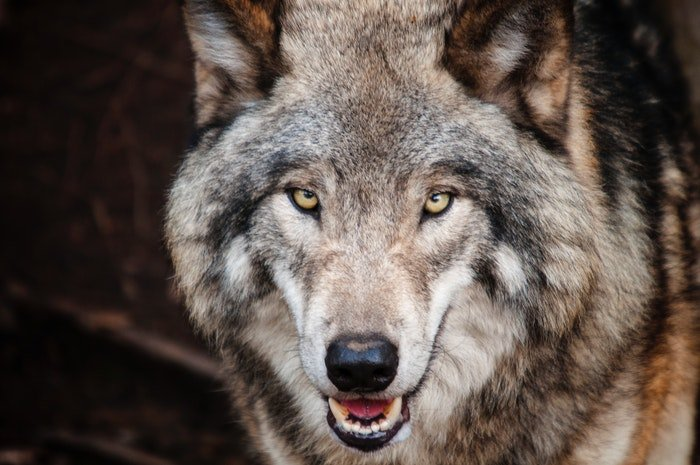 Zoo photography of a wolf looking straight into the camera