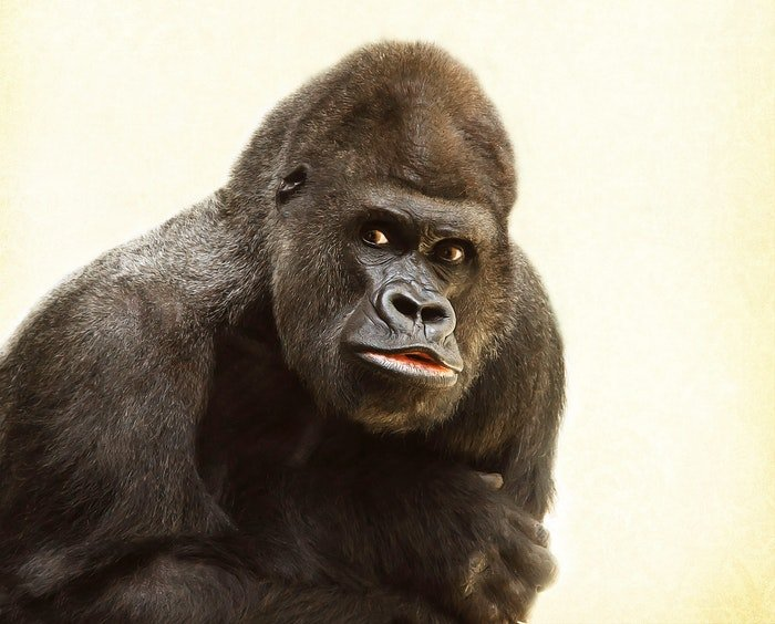 zoo photography portrait of a gorilla with white background