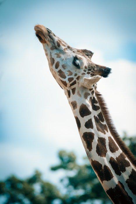 photo of a giraffe at a zoo