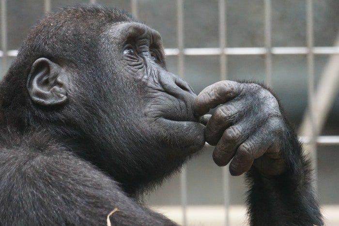 portrait photo of a gorilla in a zoo