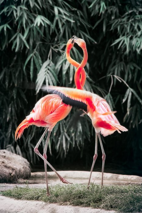 Zoo photo of two flamingos with their necks intertwined