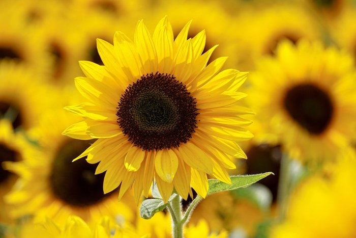 Sunflowers in a field