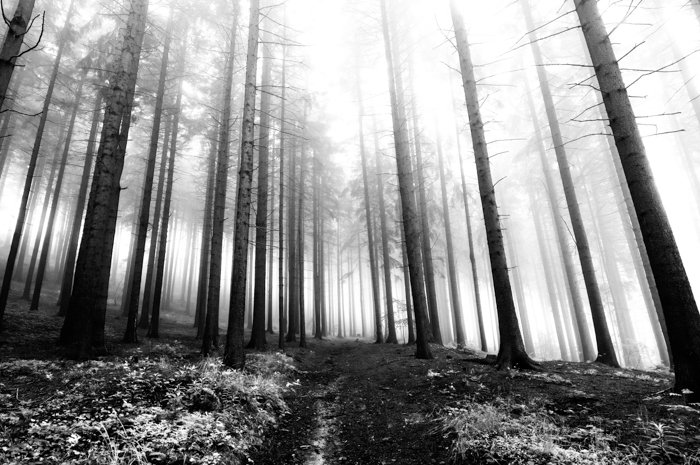 an black and white image of a coniferous forest in early morning fog