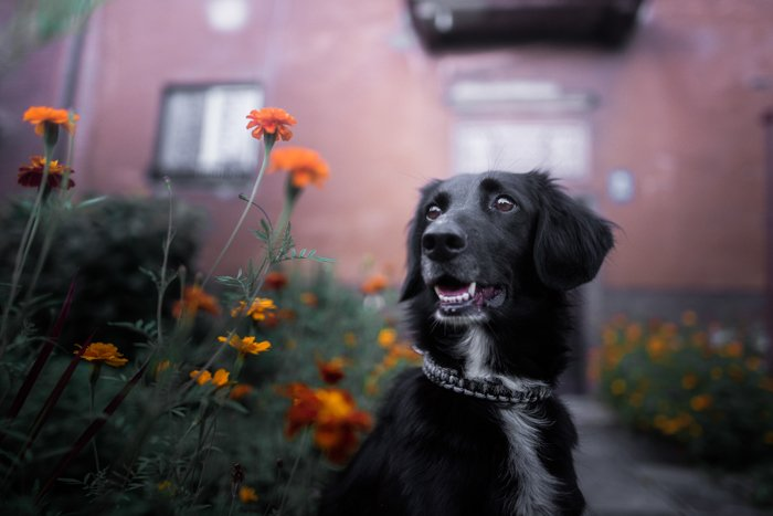 A black dog in front of a house