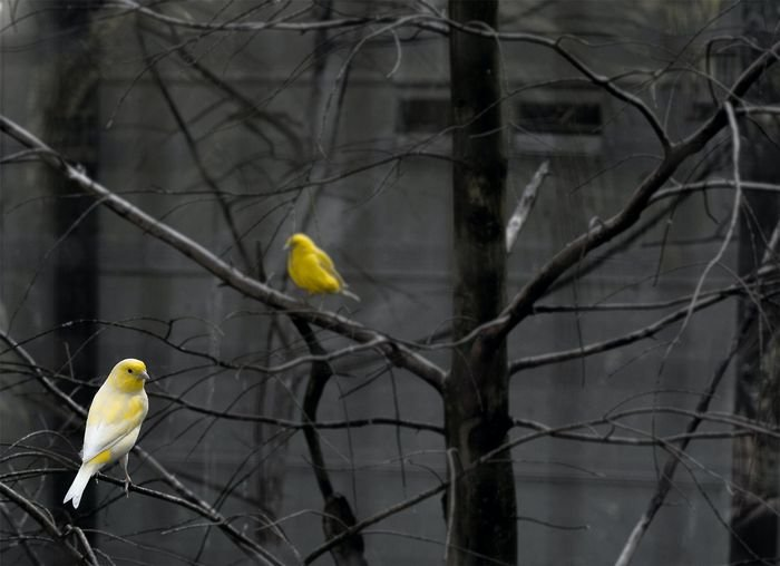 Yellow canaries in a tree