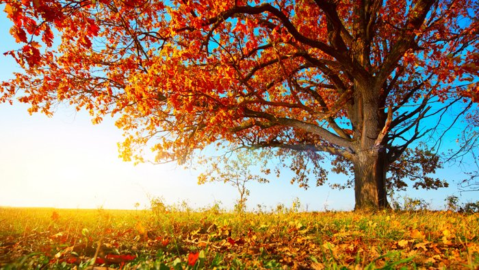 Autumn photo of a big oak with red leaves on a blue sky background
