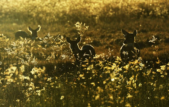 an image of three baby deer in a field