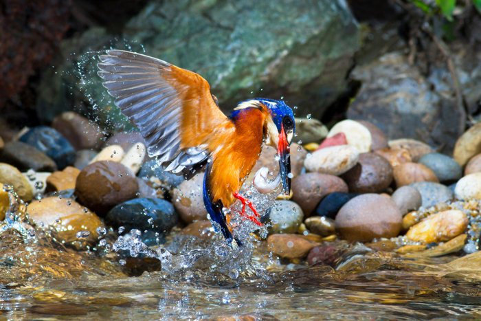 an image of a colourful bird in flight and splashing in water
