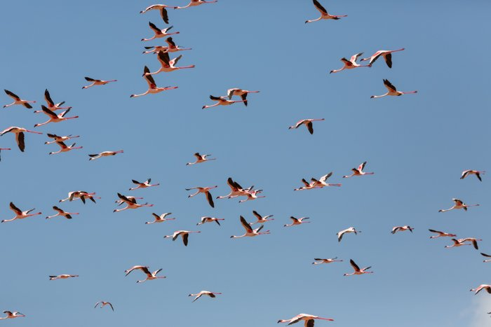 an image of a flock of flamingos in flight