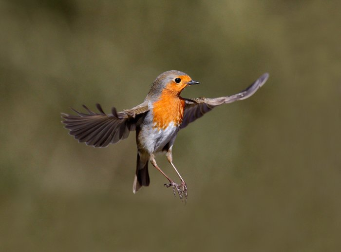 an image of a robin in flight