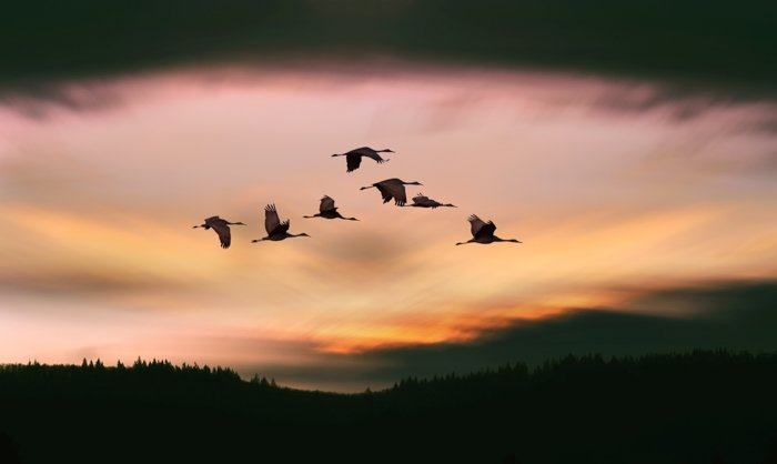 an image of a flock of crane silhouettes in flight