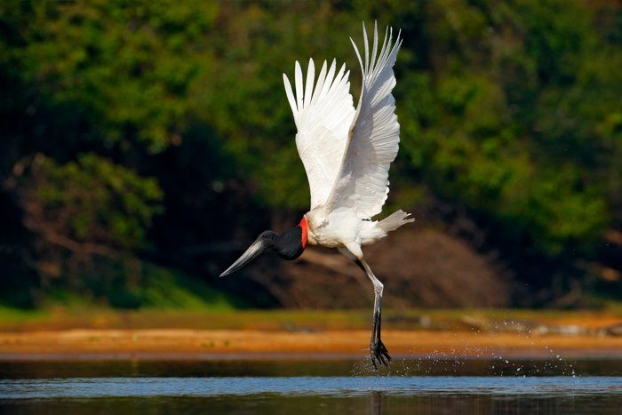 an image of a black and white crane splashing above water