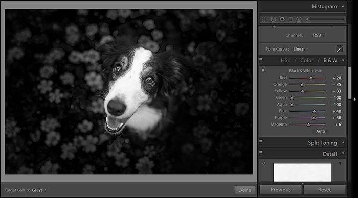 A screenshot of editing a dog portrait in Lightroom