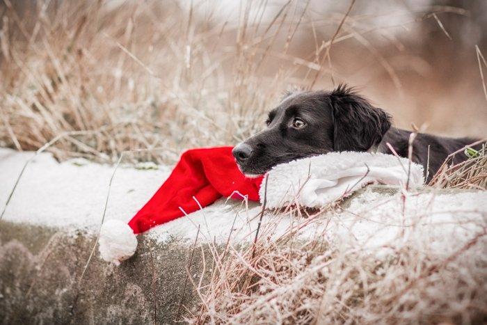 Cute Christmas card photo idea of a dog resting on a santa hat