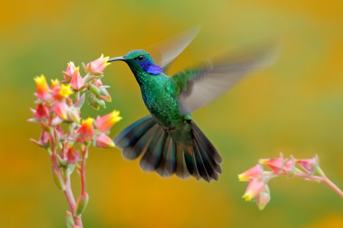a photo of a green and blue hummingbird in flight feeding from a pink and yellow flower