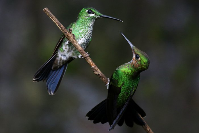 picture of hummingbirds facing each other perched on a small branch