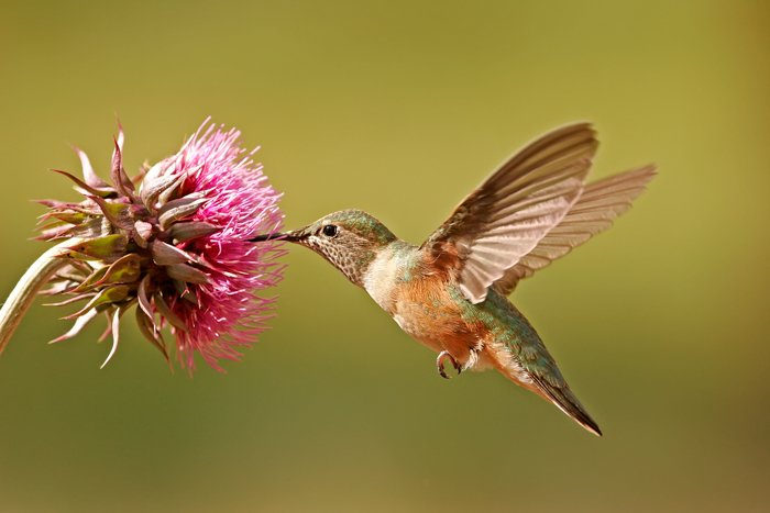 picture of hummingbird feeding from a pink flower