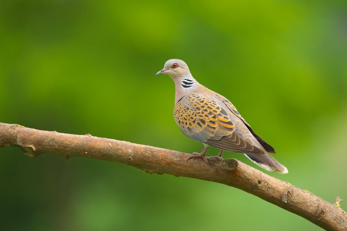 an image of a european turtle dove perched on a branch