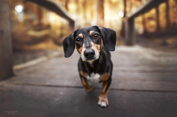 A cute dachshund puppy portrait
