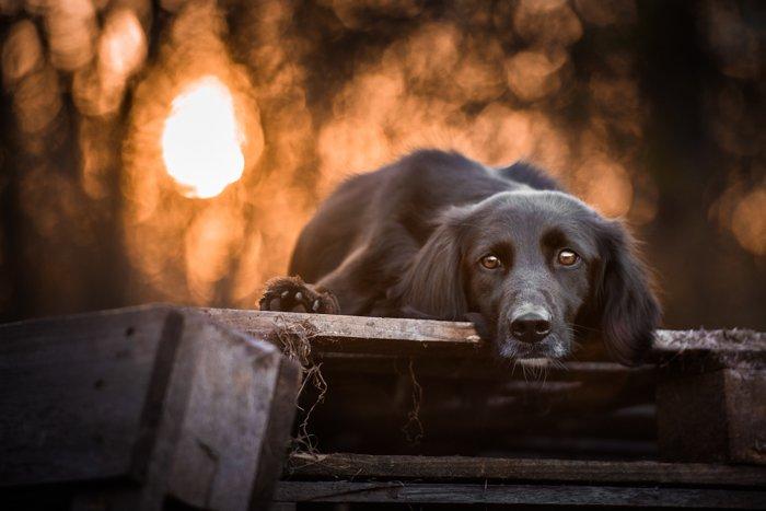 A cute black dog in sunset.