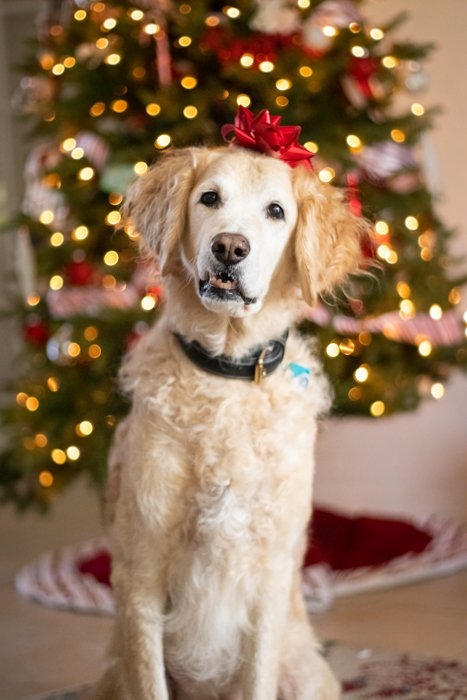 Christmas pet portrait of a cute dog with a gift ribbon on her head