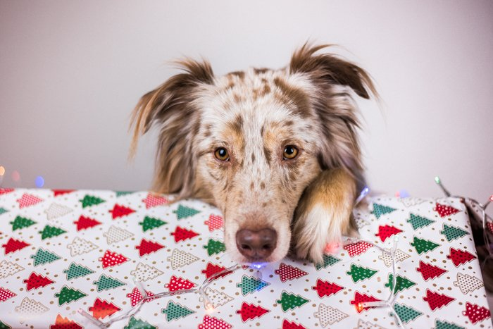 A cute indoor Christmas portrait of a dog and xmas gift