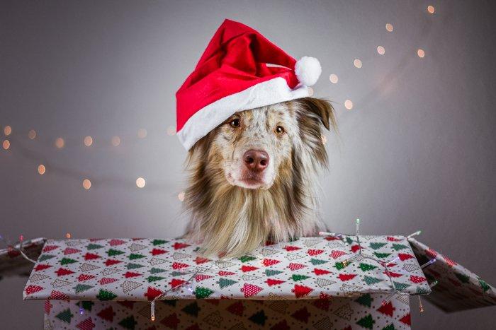 Christmas pet portrait of a cute dog in a santa hat