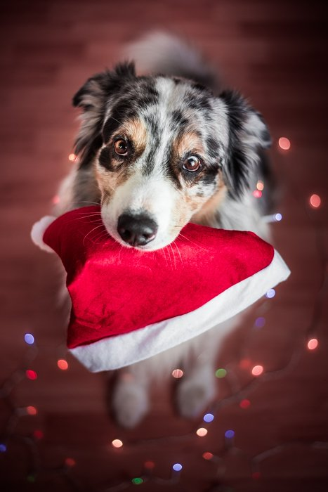 Christmas pet photo of a cute dog holding a santa hat in his mouth