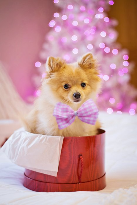 Cute holiday pet photo of a dog sitting in a christmas present box