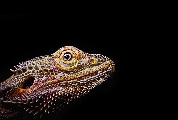 Closeup of a lizard from eye-level.