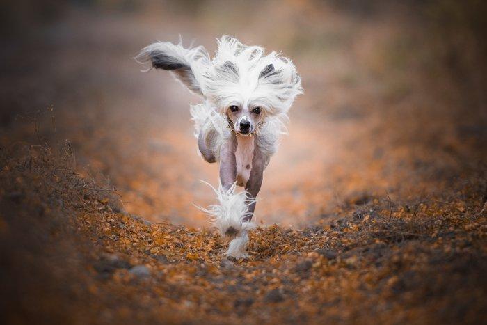 A pet dog running