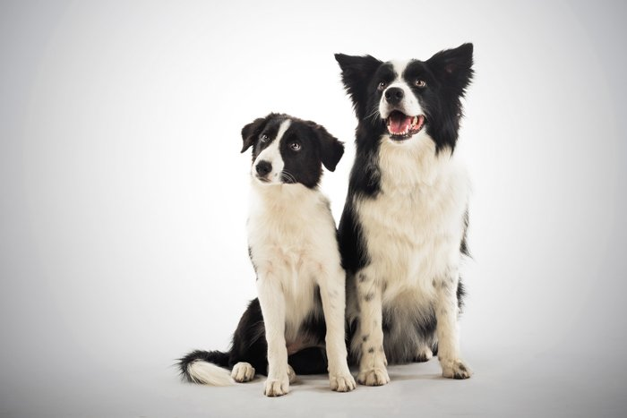 Cute pet portrait of two black and white dogs