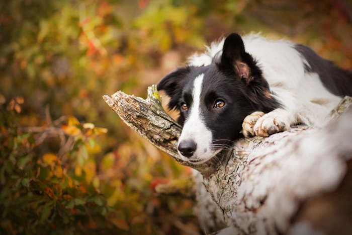 Cute pet portrait of a black and white dog resting on a tree