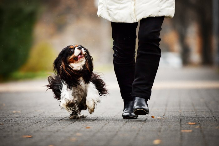 A cute black and white dog running beside his owner