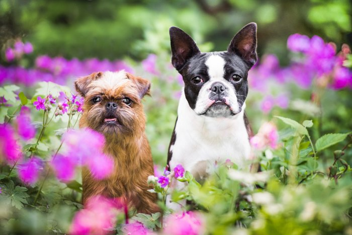 Cute pet photography of two dogs outdoors among flowers
