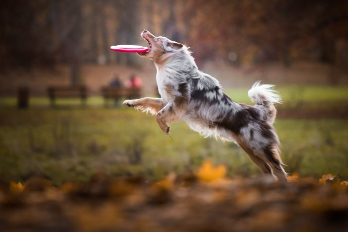 Cute pet portrait of a black and white dog catching a Frisbee