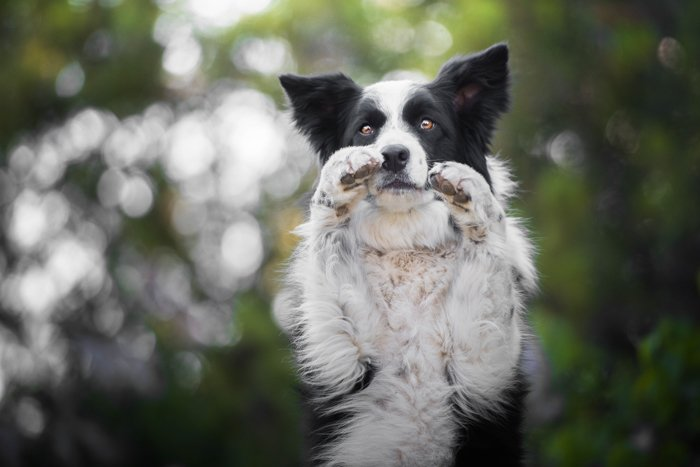 Cute pet portrait of a black and white dog