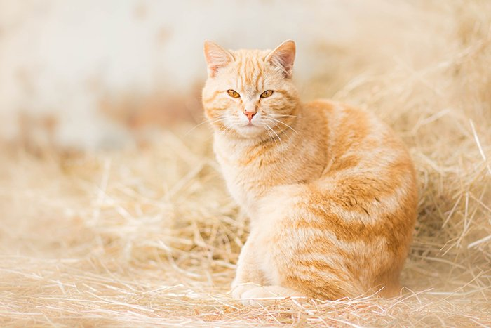 Dreamy pet portrait of a ginger cat outdoors