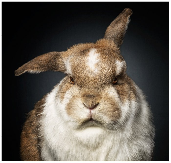 A close up of a fluffy bunny with a grumpy face