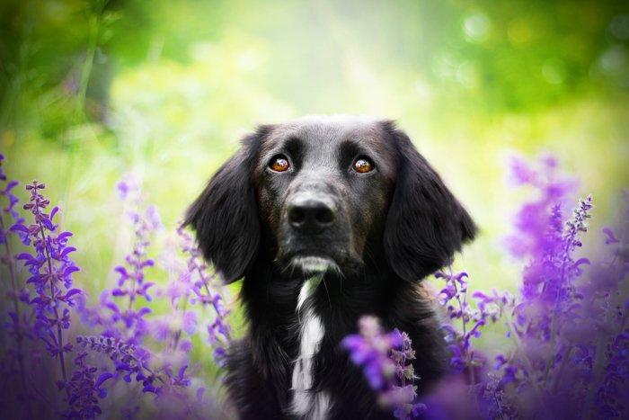Cute pet photography of a black dog among purple flowers