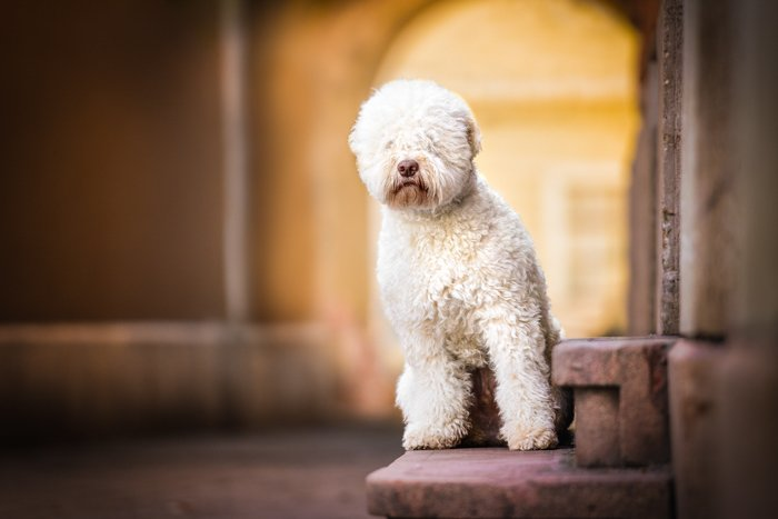 Cute pet photography of a white dog indoors
