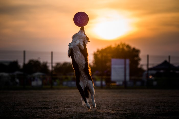 Cute pet portrait of a dog catching a frisbee
