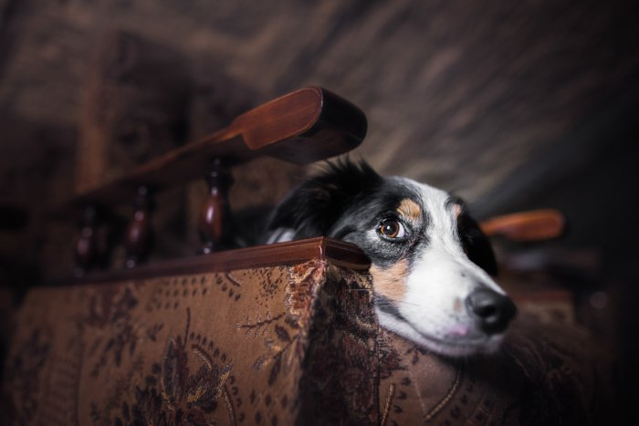 Cute pet photography of a dog indoors