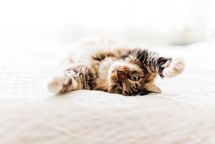 Cute pet photography of a tabby cat on a bed