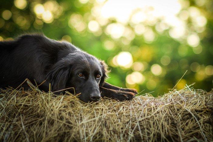 A black dog lying on hay