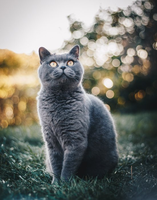 A fluffy grey cat outdoors