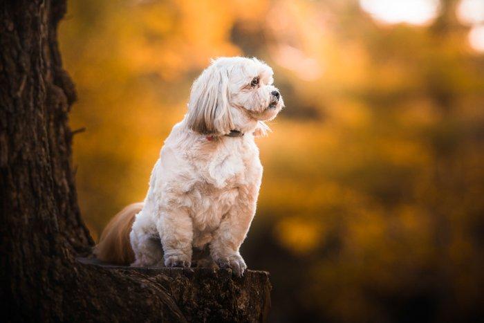 A cute white dog on a tree stump